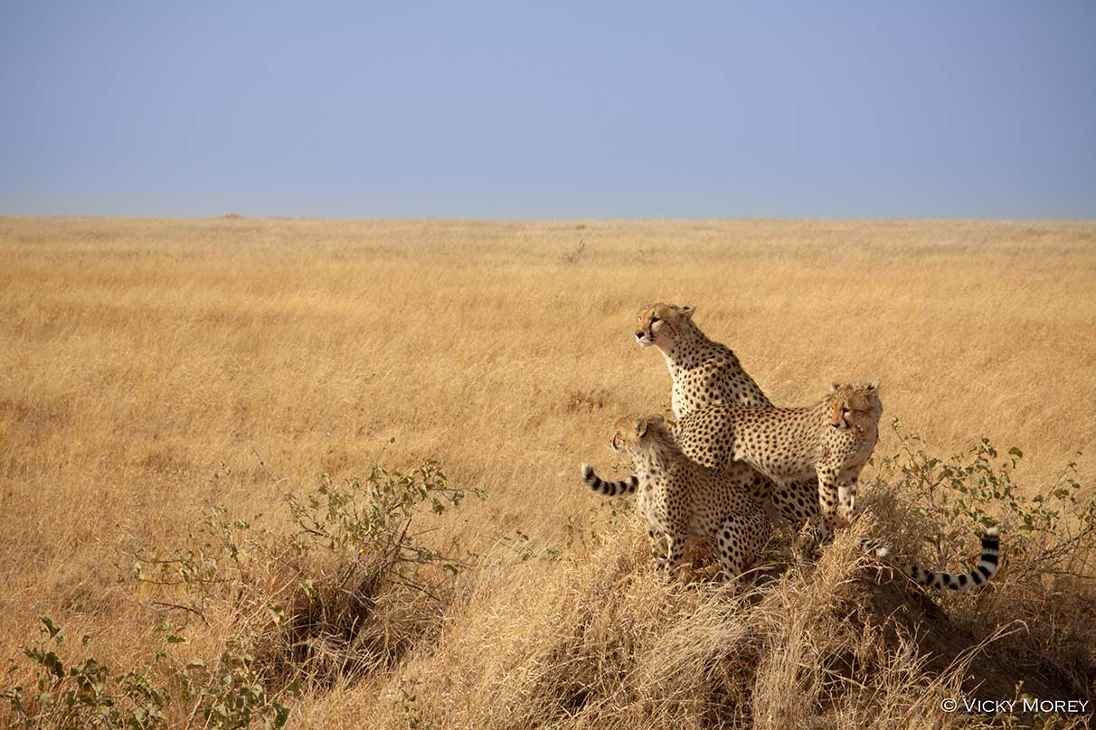 Cheetahs on the Waterberg Plateau. Cheetah Conservation Fund