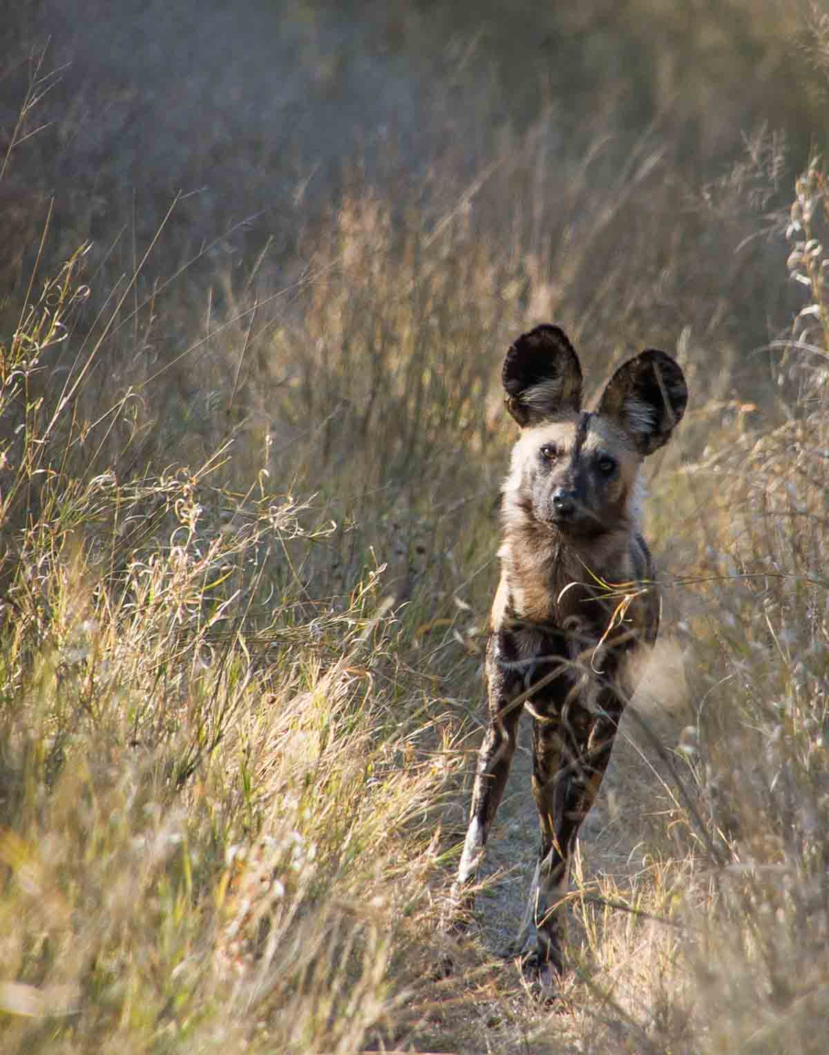 African Painted Dog Hwange National Park