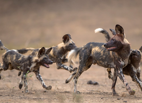 African Painted Dog Pack Hwange