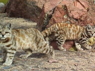Andean Cat and Kitten