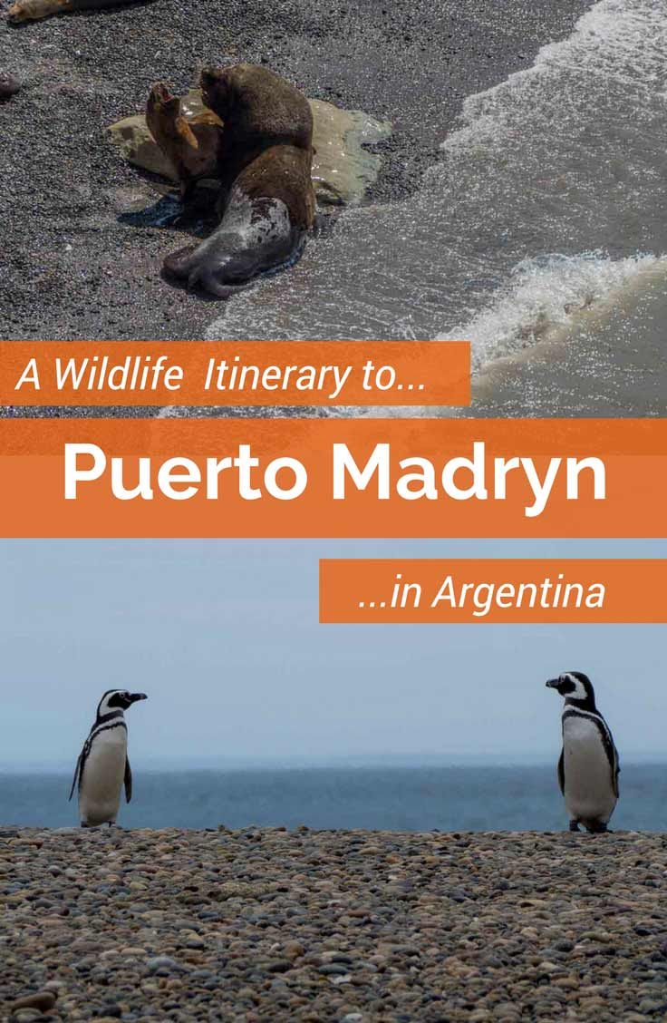 This independent itinerary for a Puerto Madryn tour in Argentina will show you an astonishing variety of marine wildlife