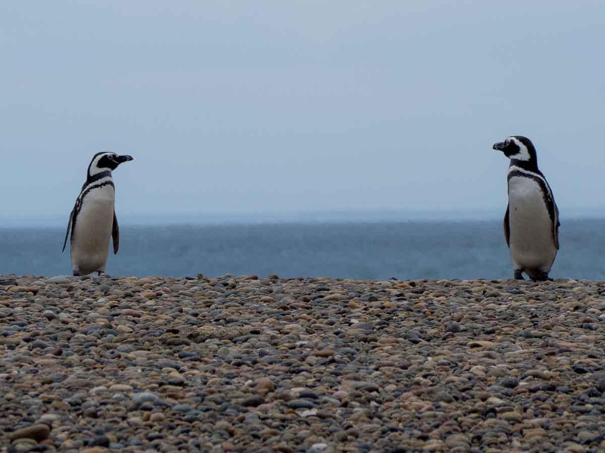 Magellanic Penguins near Peninsula Valdes