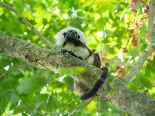 Cotton Top Tamarin Colombia in a tree tropical dry forest