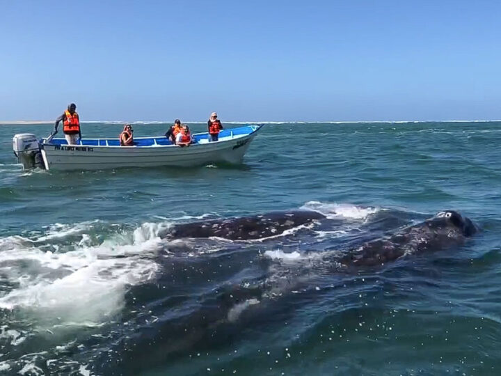 Whale Watching Magdalena Bay, Baja Mexico. Grey whale with boat