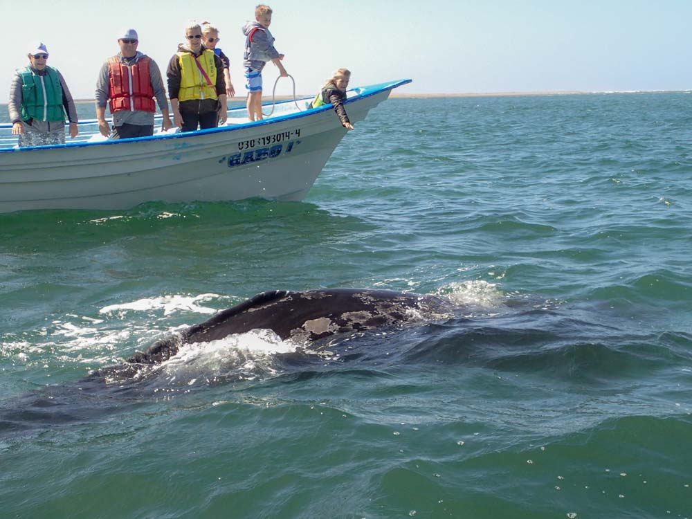 Magdalena Bay whale watching in Mexico. Boat with grey whale