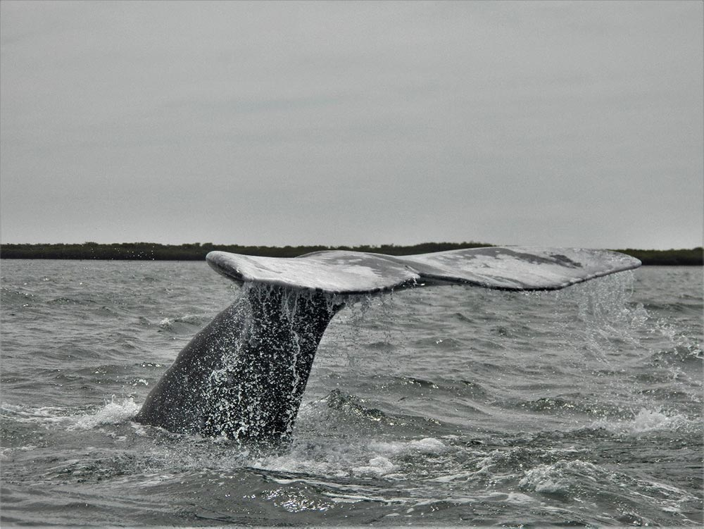 Grey Whale Magdalena Bay Mexico. Black and white, tail fluke